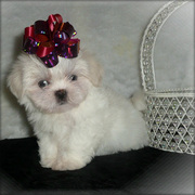 Shih Tzu Puppies For Excellent Families.