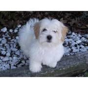 Adorable little Maltese puppy