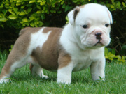 cute bulldog babies for adoption to you