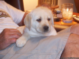 Beautiful Labrador retriever puppies now available