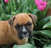 KC REGISTERED BOXER