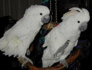 tame cockatoo parrot for free adoption