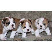 English Bulldog Puppies for beautiful homes